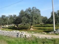 Olive trees in Puglia