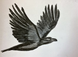 Charcoal sketch of a raven in flight and wingspan