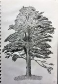 sycamore-tree-pencil-drawing