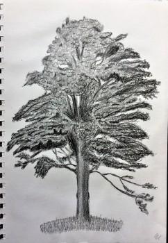 sycamore-tree-pencil-drawing